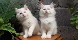 kucing persia medium whitesolid  odd eyes jantan betina lucu
