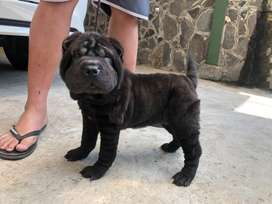 Puppy chinese sharpei jantan stb