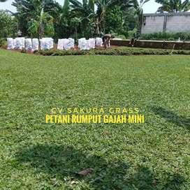 Sedia Rumput Gajah Mini Atau Golf Gratis Pupuk Kualitas Tanaman Super