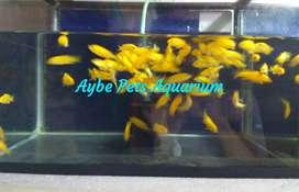 Ikan Lemon Fish Chiclid Aquarium Aquascape