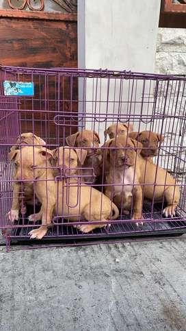 Dijual Anjing pitbull