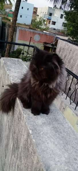 Extream Paunch top Breed Male cat for sale 6 month old
