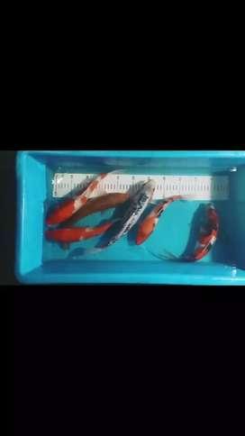 Ikan koi f1 impor