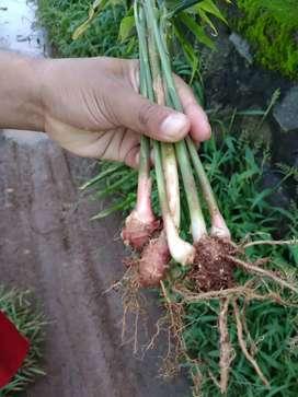 Bibit jahe merah dan tanaman herbal lain nya stock terbatas.