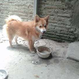 Anjing Mini POM 1 tahun jantan JUAL CEPAT