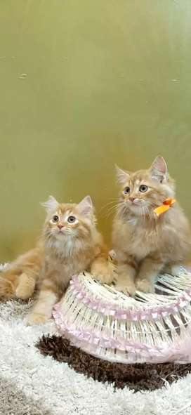 Loving Persian kittens in all colours