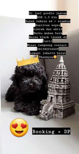 *Dijual anjing poodle black