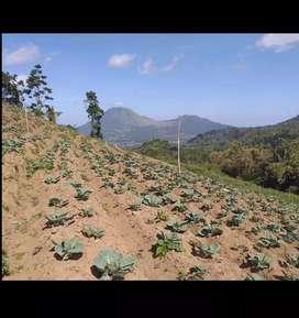 Dijual Tanah Kebun, lokasi Rurukan jual Murah 90 Ribu/meter