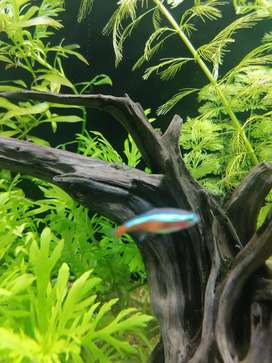 Cardinal Tetras & platies & beta