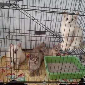 Kucing kitten persia medium