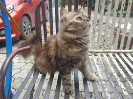 Open adopt Kucing Persia