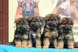 Top notch highly pedigree german shepherd puppies available