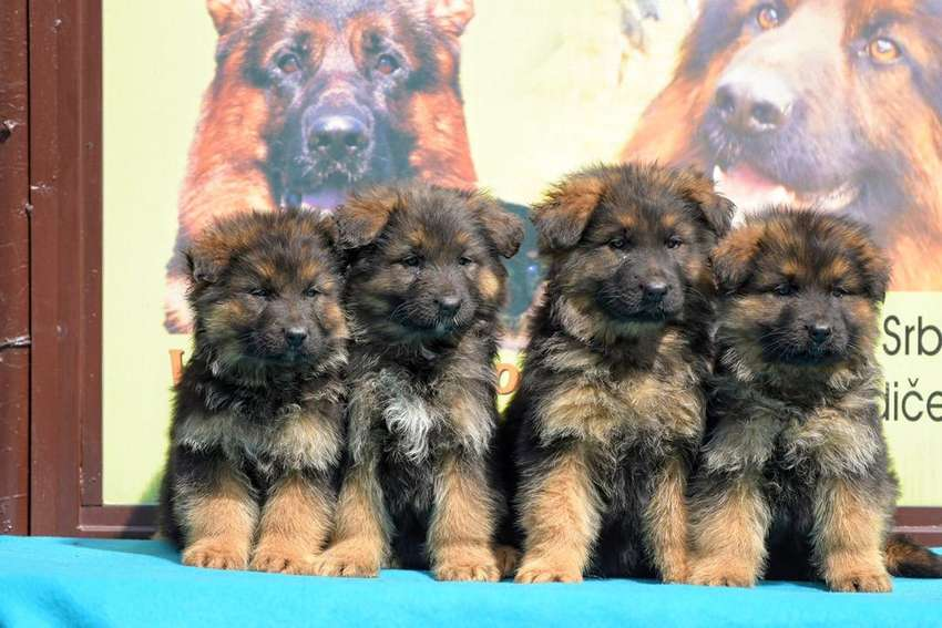 Top notch highly pedigree german shepherd puppies available 0