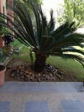 Kanghi Palm 2 Big and Beautiful Plants