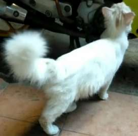 Kucing Persia Medium Betina Indukan Putih Solid Bulu Kapas Proven 1x
