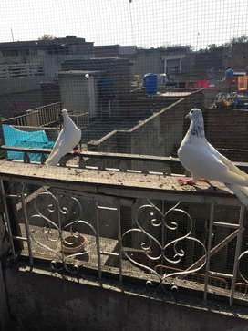 High fly pigeons 4 sale