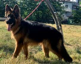 German sheperd long coat male pedigree