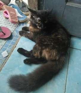 Kucing Persia cwek umur 5bln