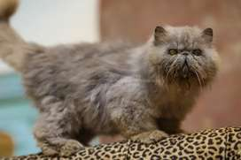 Male piki peke cat available for Mating (Stud) only
