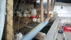 Ayam Broiler sehat