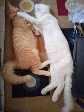 Kucing Persia Medium Jantan sama Betina