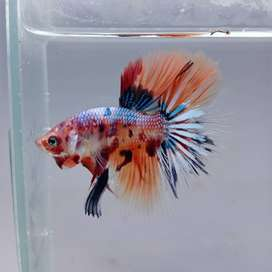 Gold 7 exotic imported Bettas