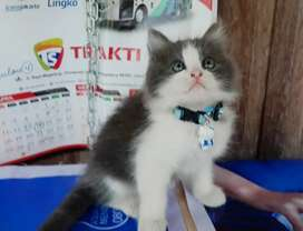 kitten kucing persia betina