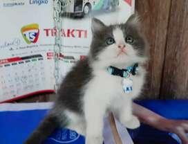 kitten kucing persia betina