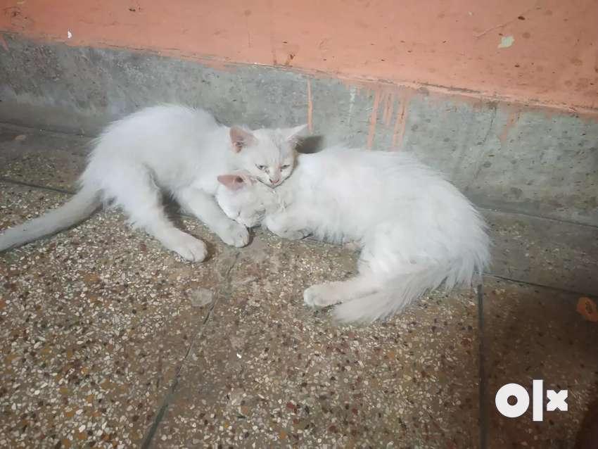 Persian Cats 0