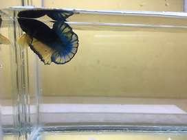 Ikan cupang Mustard Gas