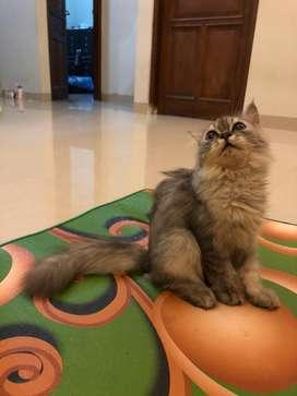 Dijual kucing persia x exo umur 4 bulan gembul