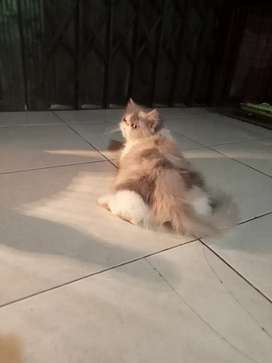 Kucing betina peaknose