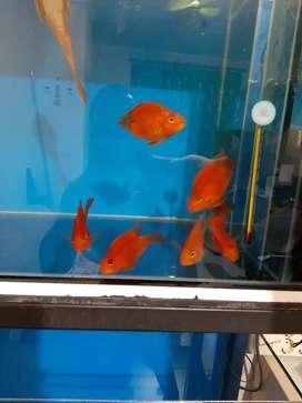Ikan Parrot Super Merah