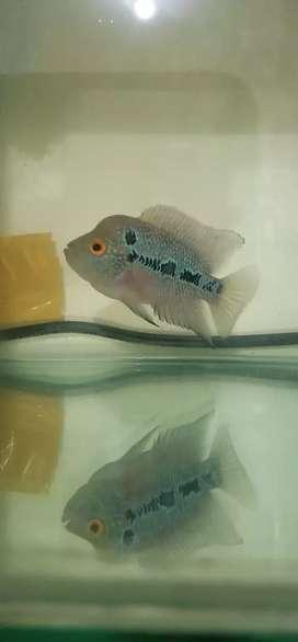 Ikan louhan jenong sudah naik kepala lohan murah progress jinak aktif