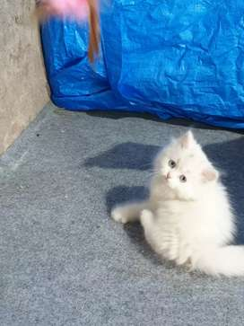 pure persian kitten
