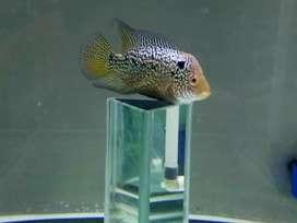 Ikan Louhan Bahan Progres Kualitas VVIP
