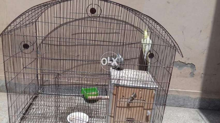Cocktail parrot with breeding box and iron steel cage for sell 0