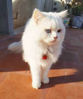 Persian Male cat for MATING... Not for Sale..