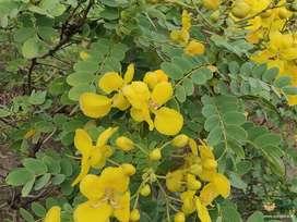 Avarampoo dried flower (Senna Auriculata)
