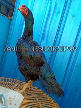 Ayam babon bangkok f1 bobot hampir 5kilo