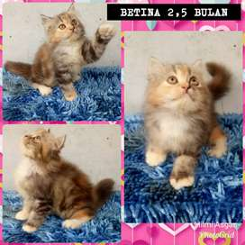 Kucing kitten persia 2,5 bulann