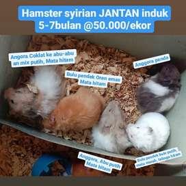 Hamster syirian JANTAN induk