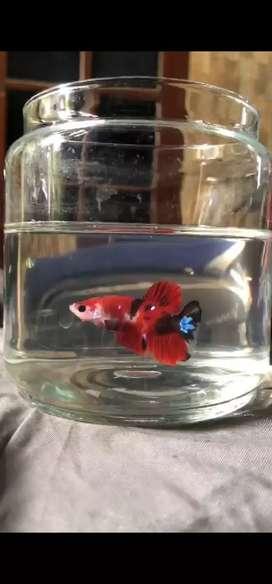 Ikan cupang Red koi galaxy