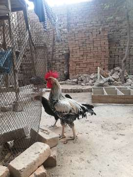 Desi murga for sale urgent