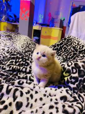 Brown Persian Cat for sale