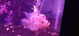 Ikan louhan bonsai
