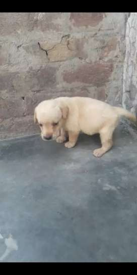 Pure top quality Labrador female puppy for sale.