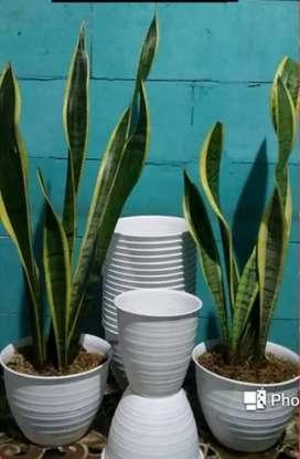 tanaman hias lidah mertua/plus pot tawon murah.