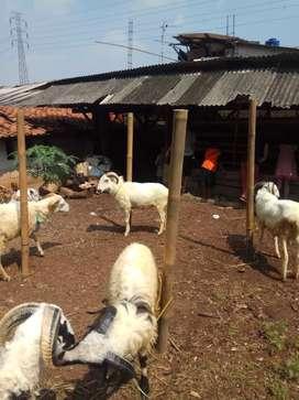 Domba dan kambing