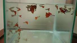 Borongan guppy, aquascape, ikan guppy